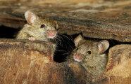 Лайфхак: Простой уральский способ, как отпугнуть мышей и крыс от дома
