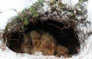 Гаджеты: И в туалет не ходят: как устроена медвежья спячка