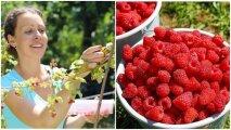 Лайфхак: 6 нехитрых правил, как сделать малинник плодоносящим и собирать ягоды ведрами