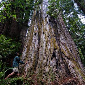 Гиперион — самое высокое дерево в мире