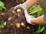 Лайфхак: Что подсадить в лунку к картофелю, чтобы вдвое повысить урожайность