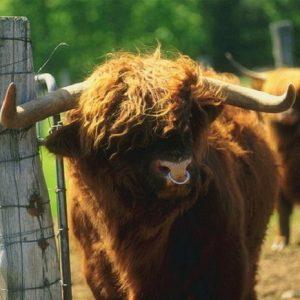 Гаджеты: Зачем быку вставляют кольцо в нос, и почему корове не обойтись без дойки