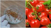 Лайфхак: Верный способ замачивания семян томатов, с которым взойдет и просроченный материал