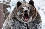 Общество: Почему медведи просыпаются зимой, или 5 фактов о медведях-шатунах