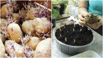 Лайфхак: Какая польза от ростков проросшего картофеля, которые хозяйки предпочитают выбрасывать
